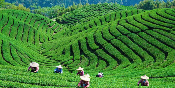 Дарджилинг - чай из прошлой жизни